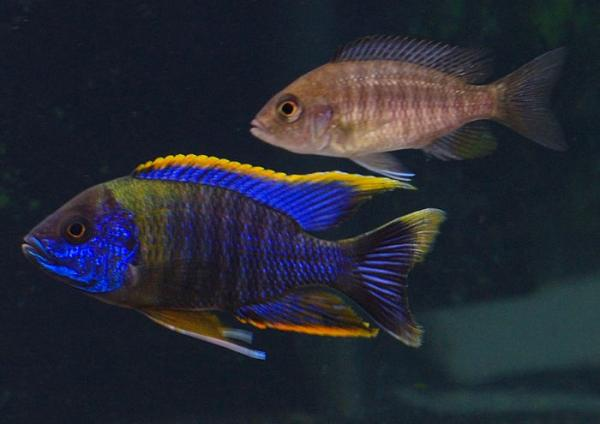 Our New Peacock, Sunburst, and Red Empress Cichlid Fry ...
